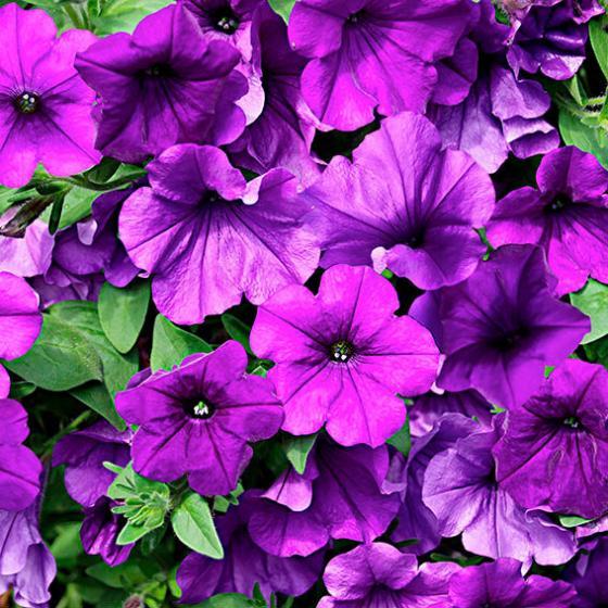 petunie surfinia violet von g rtner p tschke. Black Bedroom Furniture Sets. Home Design Ideas