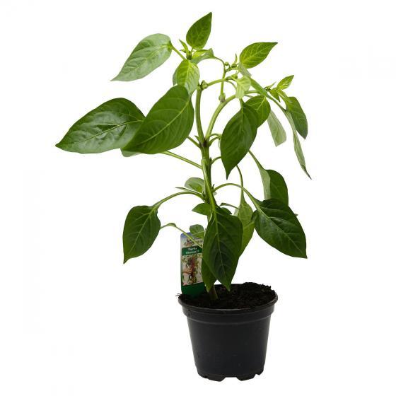 Paprikapflanze Snackpaprika, im ca. 11 cm-Topf | #2