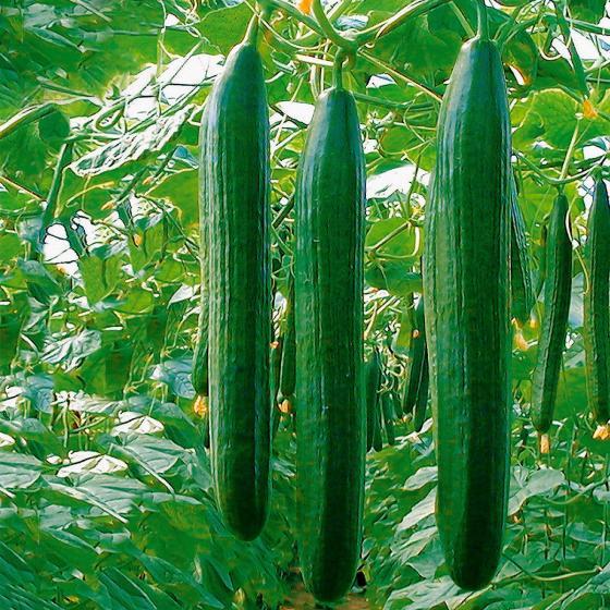 Gurkenpflanze Loustik F1, veredelt | #2