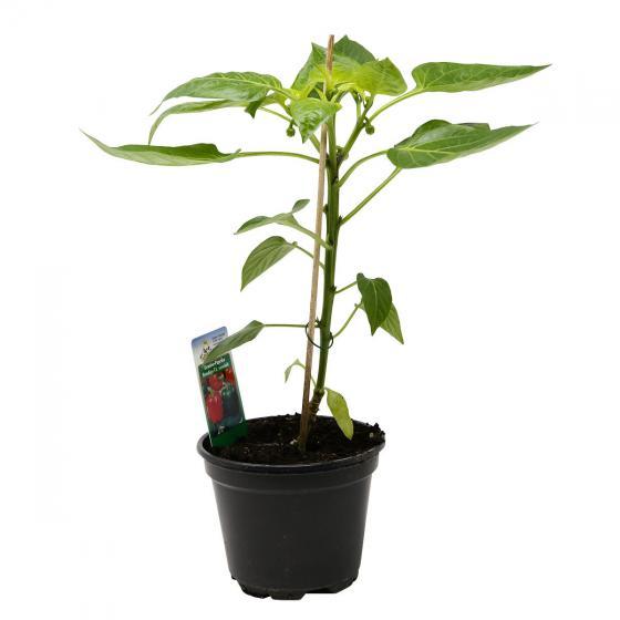 Paprikapflanze Bendigo F1, veredelt, im ca. 10,5 cm-Topf | #2