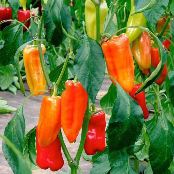 Paprikapflanze Agio F1, veredelt | #2