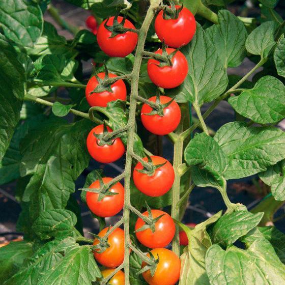 Tomatenpflanze Rubin Pearl F1, veredelt | #2