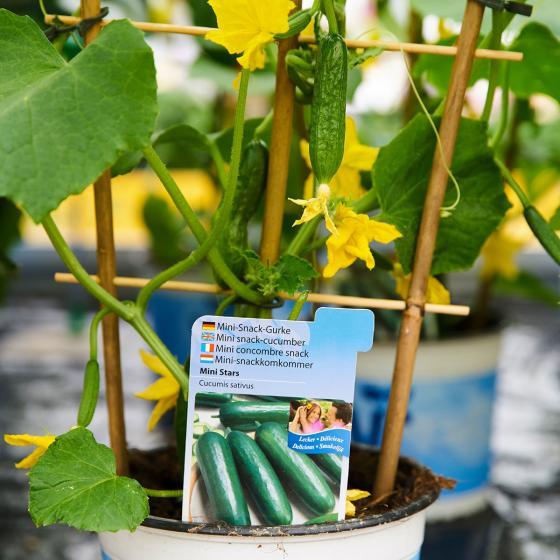 Gurkenpflanze Mini Stars, veredelt, im ca. 12 cm-Topf | #2