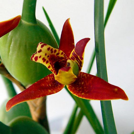 Sonnencreme-Orchidee   #2
