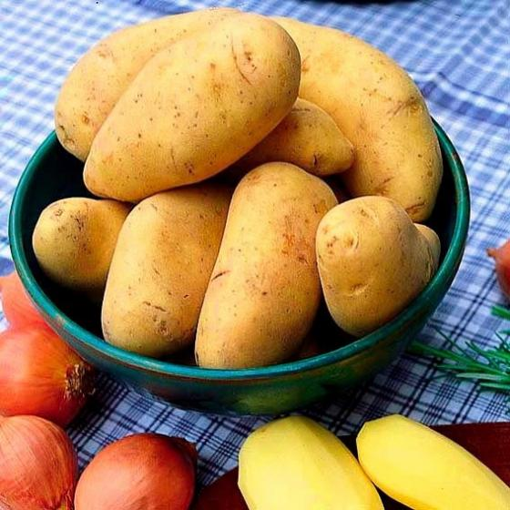 Kartoffel Cilena, 10 Stück | #2
