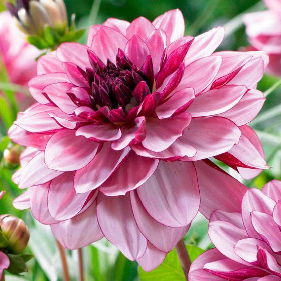 Blumenzwiebel-Sortiment Creme-Dahlien | #2