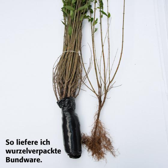 Liguster, 40-60cm, 2x10 Pflanzen, wurzelverpackt | #2