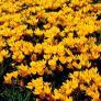 Großer Gelber Frühlingskrokus | #2