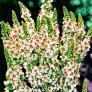 Königskerze Wedding Candles, im ca. 9 cm-Topf | #2