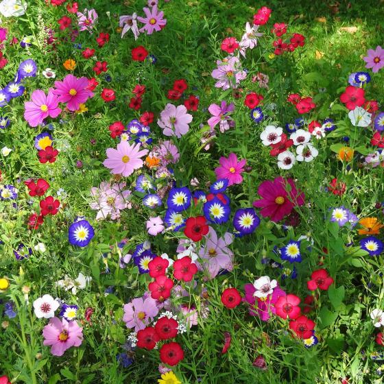 Blumensamen-Mischung Original Mössinger Sommer für 3 qm | #3