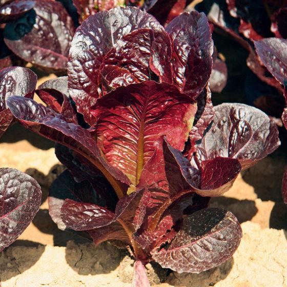 Salatsamen Romana- und Feldsalat Ovired | #3