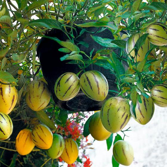 Birnenmelonensamen Pepino | #3