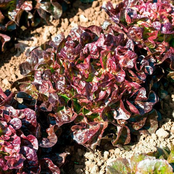 Salatsamen Eichblatt- und Pflücksalat Saxo | #3