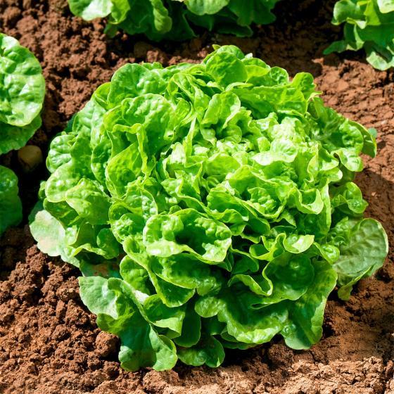 Gemüsesamen-Sortiment Eichblatt- und Pflücksalate | #3