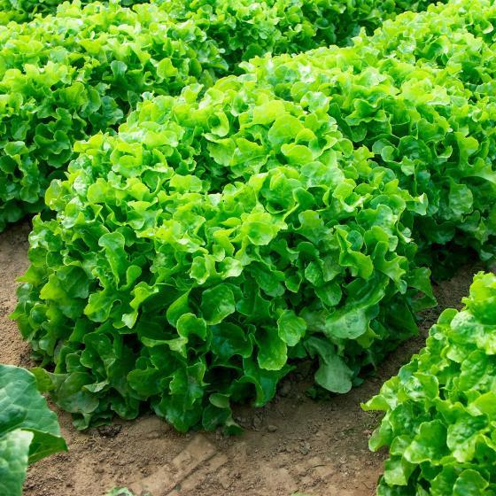 Salatsamen Eichblatt- und Pflücksalat Kyrio | #3