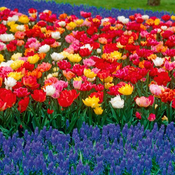 Tulpen Frühblühende Murillo-Mischung, gefüllt | #3