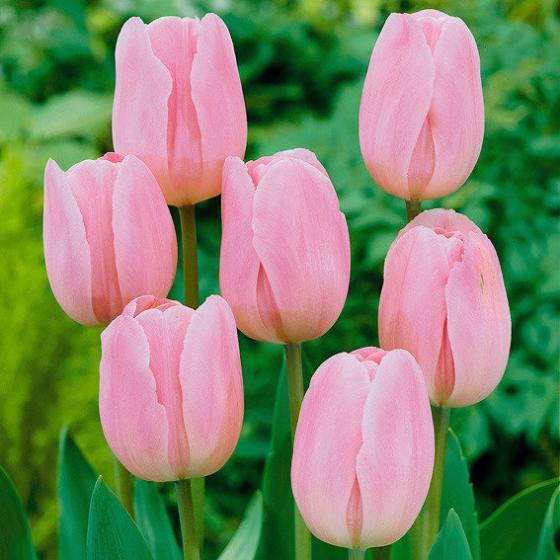 Blumenzwiebel-Sortiment  Pink/Rosa Topf | #3