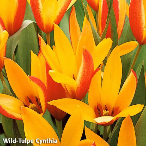 Blumenzwiebel-Mischung Bunte Frühlingswiese | #3