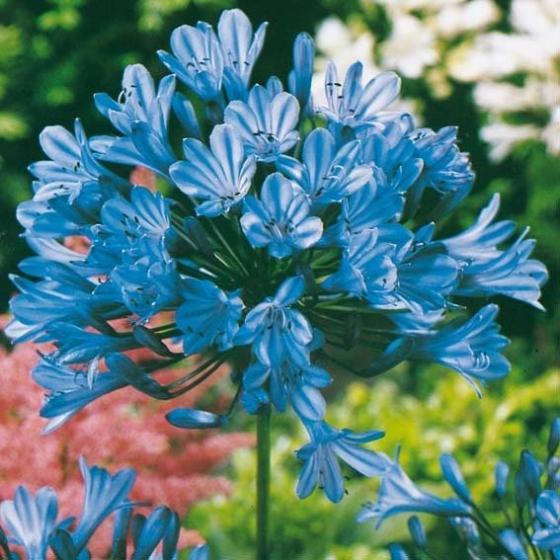 Schmucklilie, Afrikanische Lilie, blau | #3