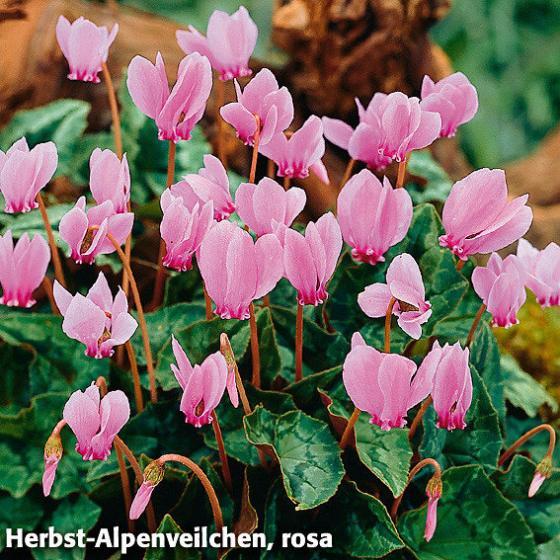 Blumenzwiebel-Sortiment Herbst-Alpenveilchen | #3