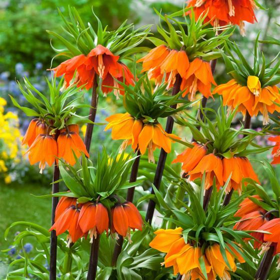 Blumenzwiebel-Sortiment Kaiserkronen | #3