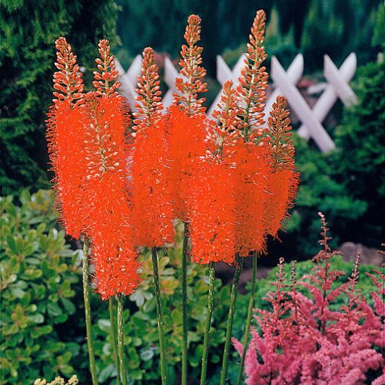 Blumenzwiebel-Sortiment Steppenkerzen | #3