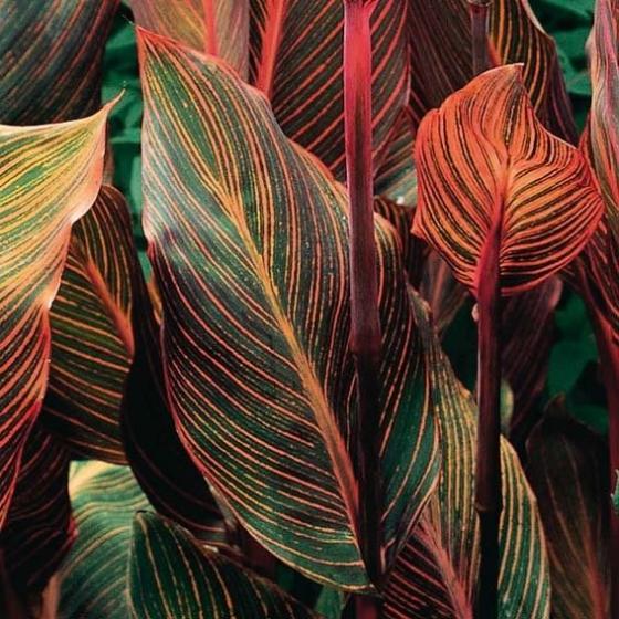 Riesen-Canna Tropicanna (Indisches Blumenrohr) | #3