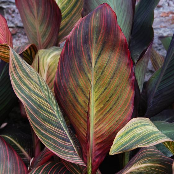 Riesen-Canna Andaloucia (Indisches Blumenrohr) | #3