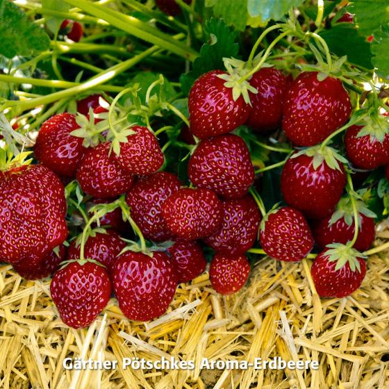 Erdbeerpflanzen-Sortiment Gärtner Pötschkes Auslese, getopft | #3