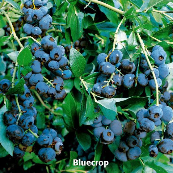 Obst-Sortiment Leckere Kultur-Heidelbeeren | #3