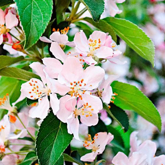Gelbfruchtiger Vogelfutter-Baum | #3