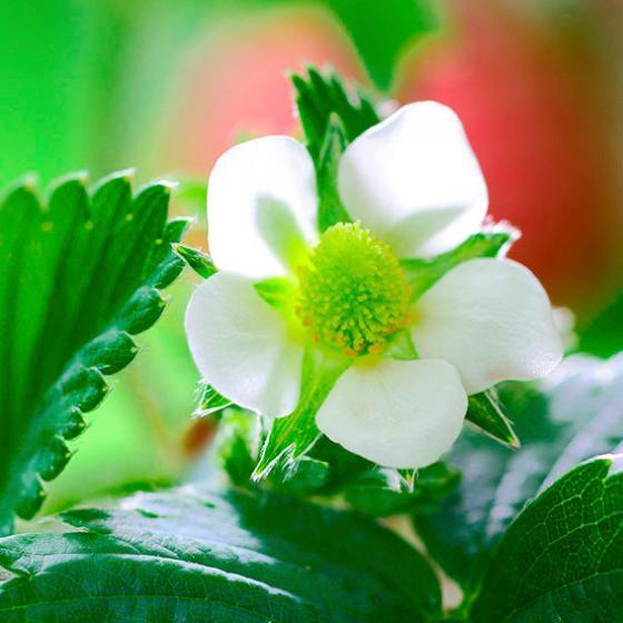 Fridulin-Erdbeere Everlin, getopft | #3