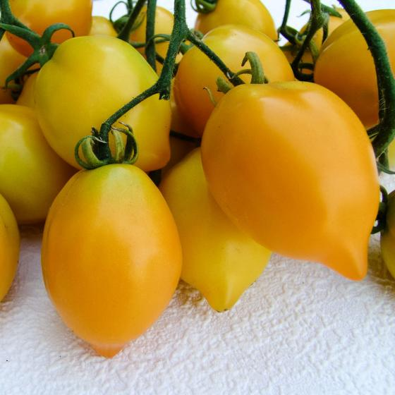 Tomatensamen Citrina | #3