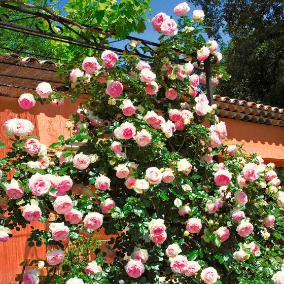 Rose Eden Rose®, im 5,5-Liter-Topf | #3