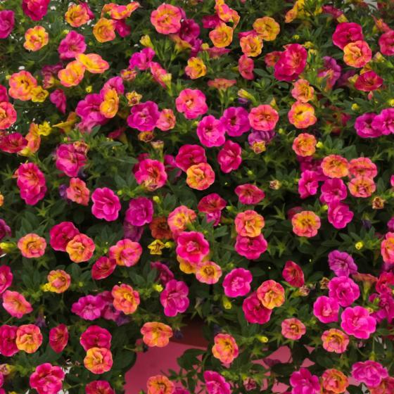 Chameleon-Zauberglöckchen Double Pink Yellow | #3
