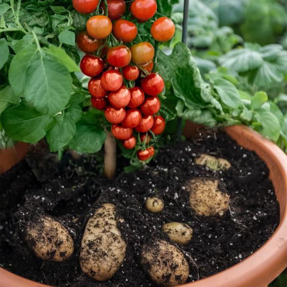 Tomaten-Kartoffelpflanze TomTato, veredelt, im ca. 12 cm-Topf | #3