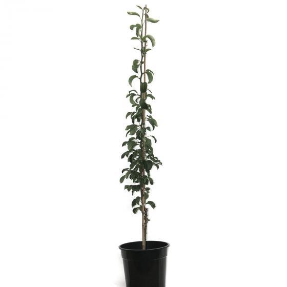 Premium Lebensbaum Brabant, Höhe ca. 100-120 cm | #3