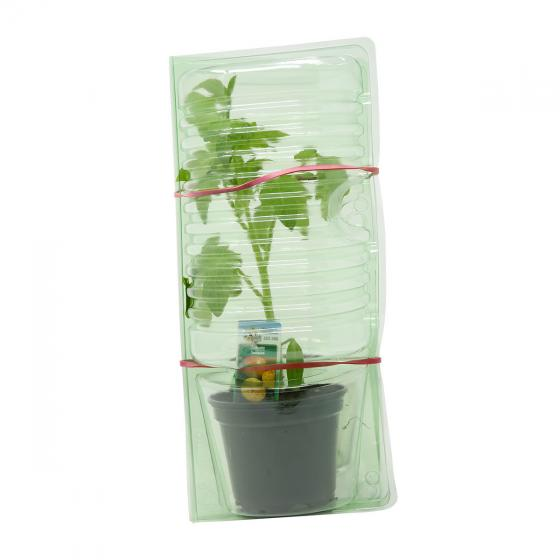 Tomatenpflanze Ananas | #3
