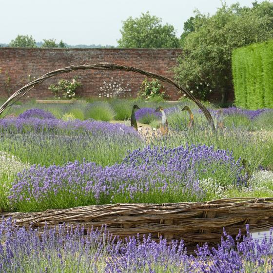 Englischer Lavendel Loddon Blue   #3