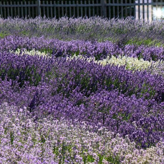 Englischer Lavendel Elizabeth | #3