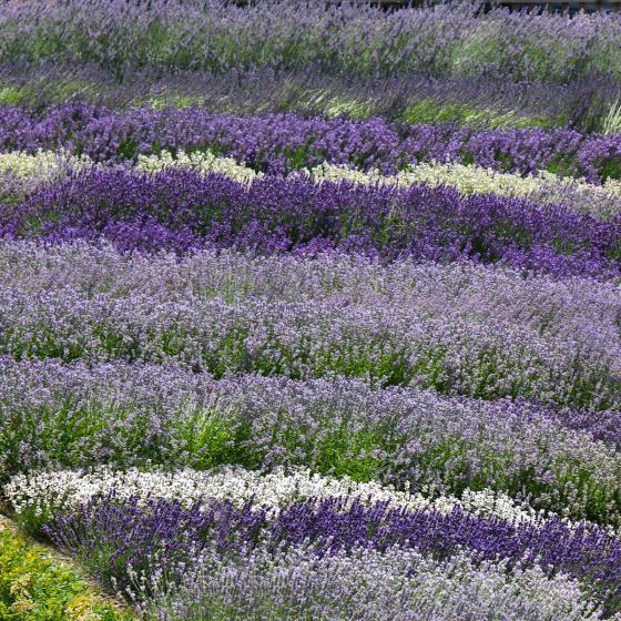 Englischer Lavendel Cedar Blue, im ca. 13 cm-Topf | #3