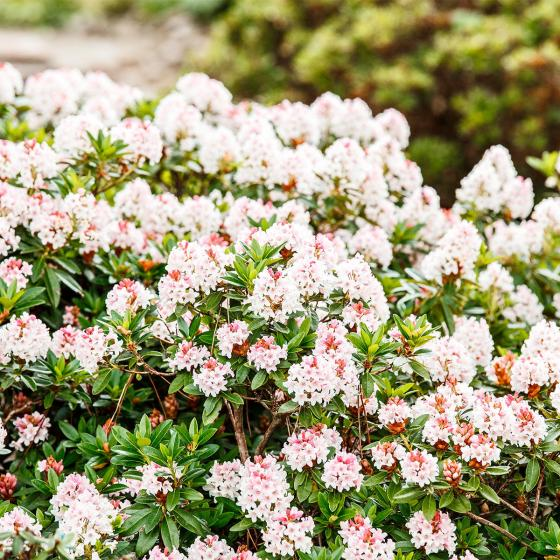 Bloombux®, pink, im ca. 17 cm-Topf | #3