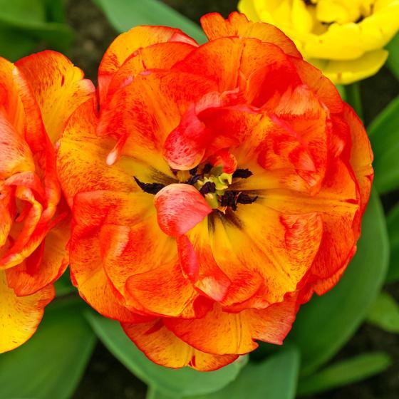 Tulpe Sundowner | #3