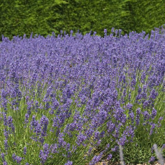 Bienen-Lavendel, im ca. 13 cm-Topf | #3