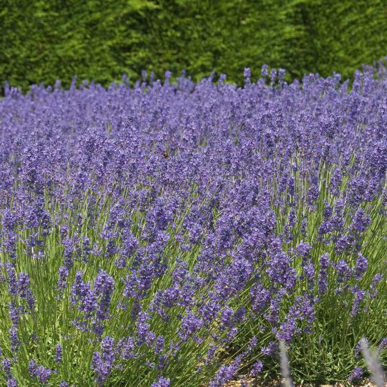 Bienen-Lavendel | #3