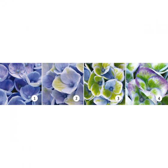 Garten-Hortensie Magical® Revolution Blue | #3