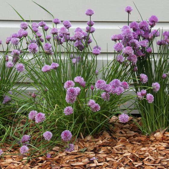 Blu Bio-Kräuterpflanze Schnittlauch | #3
