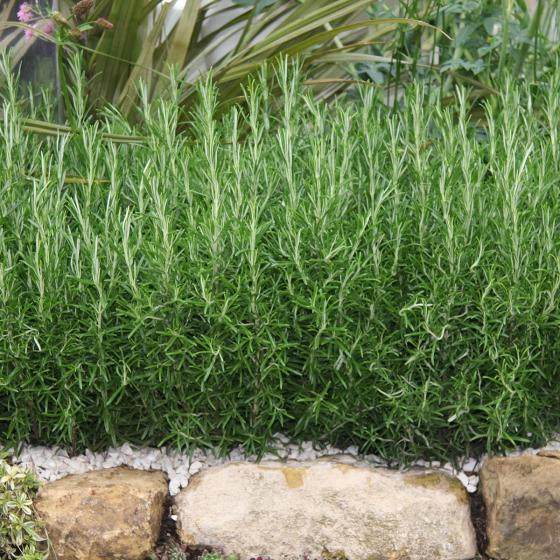 Blu Bio-Kräuterpflanze Rosmarin | #3