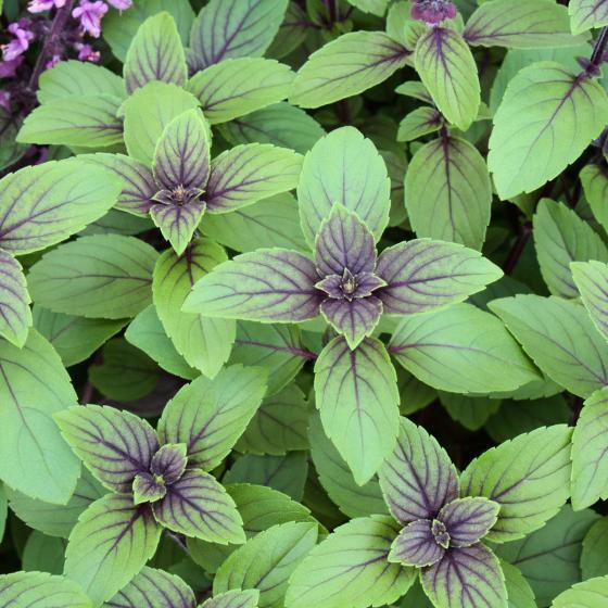 Blu Bio-Kräuterpflanze Strauch-Basilikum | #3