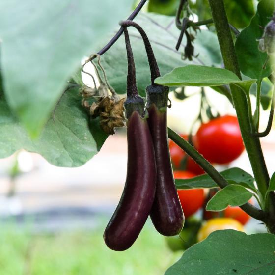 Blu Bio-Gemüsepflanze Aubergine Super-Mini | #3
